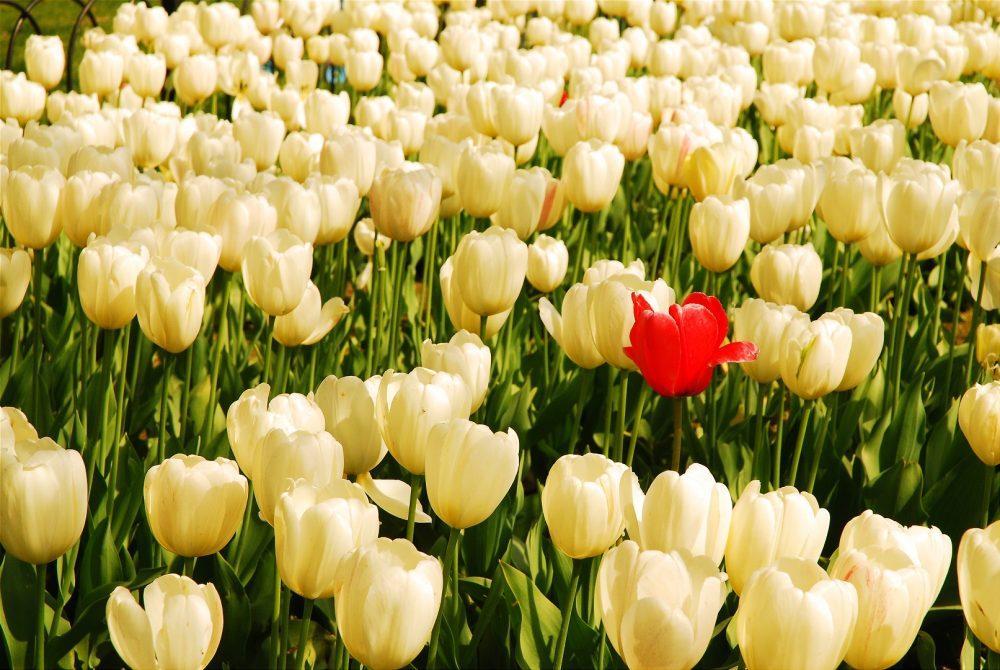 Yksinäinen punainen tulppaani valkoisten tulppaanien joukossa.