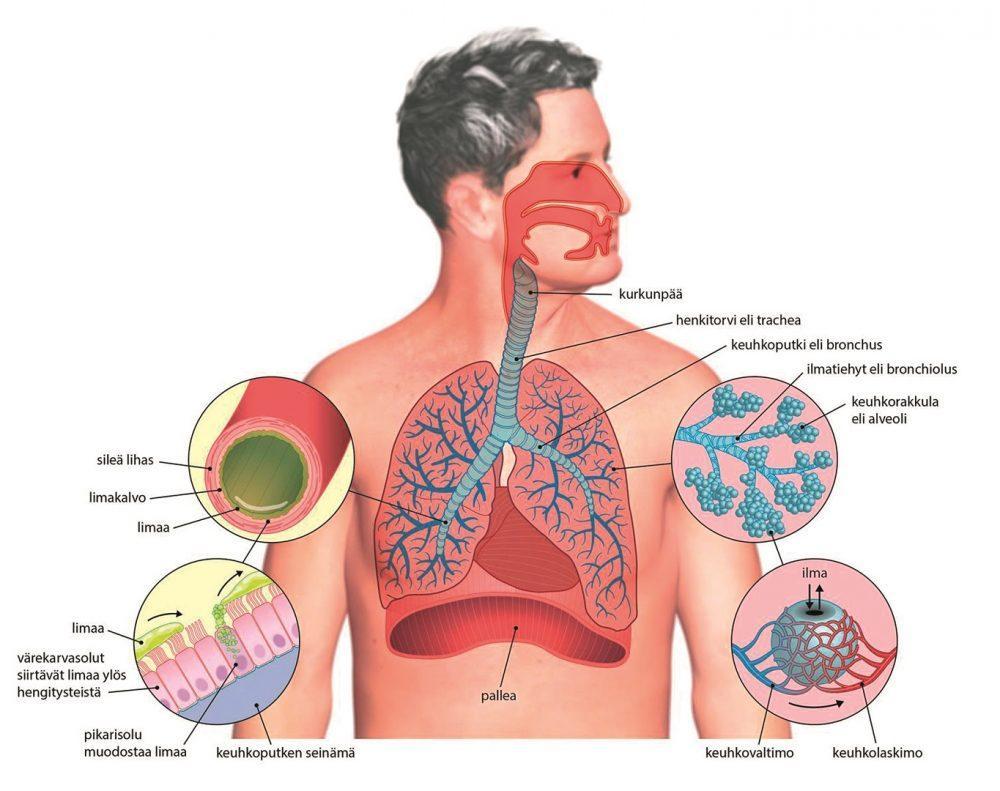 Ihmisen hengityselimistöä kuvastava piirroskuva.
