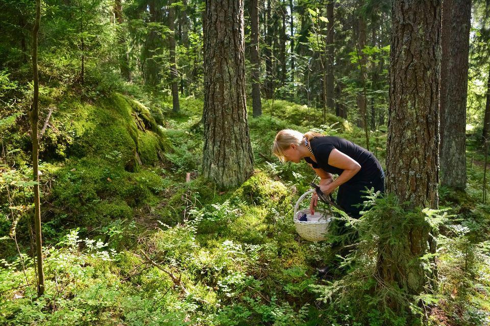 sienestys metsä